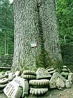 Holy Tree with 8 metre trunk in Jageshwar